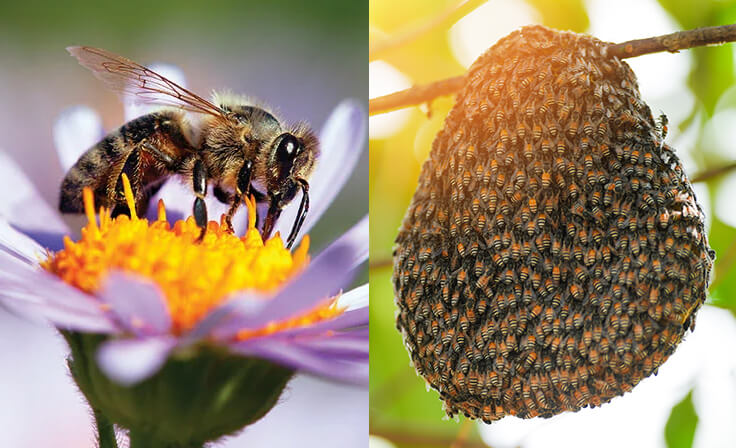Pest Identification for Control, Extermination and Removal   Bees