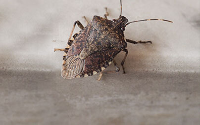 Wisconsin Stink Bug Exterminators