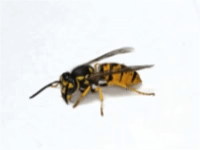 Yellow Jacket Extermination